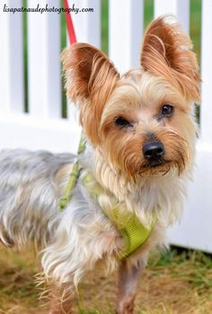 ABOUT SPARKY Hi! I am a 3-4 year old, 8lb Yorkie. Despite my size, I am a tough little guy, and I love to play with the big dogs in the neighborhood! Actually, I like all dogs, especially the resident doggie! I am also very sweet and friendly too- once I know you, I'll lean in for snuggles and kisses, and follow you around the house. I'm good with people, but please give me a minute to sniff you. I'm little, so getting picked up right away scares me! Although I'm good with people, I'll need…