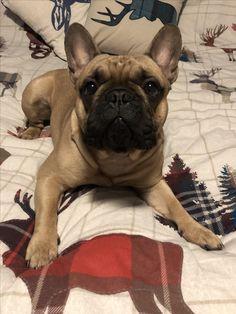 Ralph the French Bulldog