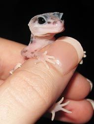 Great guide for taking care of Leopard Geckos!