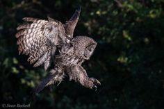 owl, owl photos, great grey owl, great grey owl photos, grand teton national park wildlife, grand teton national park wildlife photos, birds in america, birds in grand teton national park, owls in grand teton national park, grand teton national park