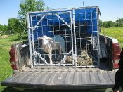 hauling sheep in truck bed   LIVESTOCK SHIPPING CRATE PICKUP TRUCK CAGE (GOATS, SHEEP, HOGS)