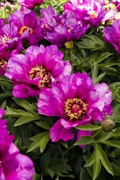 Morning Lilac Itoh Peony - Monrovia - Morning Lilac Itoh Peony