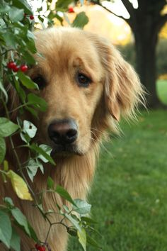 I've been shot at, had people try to stab me, seen and watched death multiple times, temporarily lived in one of the most hostile places on the face of the earth, but my heart melts at the soft sincere eyes of a Golden.