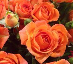 Rose BABE
