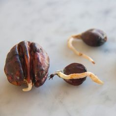 Weve been playing around with as many seeds as we can get our hands on to grow in Sprout. Heres a pecan nut and sweet chestnuts showing good root action fingers crossed that they will soon make little leaves #springiscoming #designsprout #sproutideas#deskforest #unusualplants