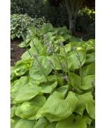 Sum  Substance Hosta Perhaps the largest and most popular hosta. This award winner has immense leathery leaves of chartreuse that become gold as summer approaches. A bold landscape feature when accentuated by smaller bright-colored hostas and other perennials. Herbaceous.