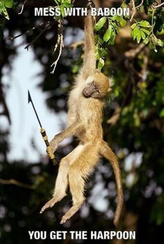 Mess with the baboon, you get the harpoon