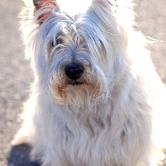 Cairn Terrier sitting in the sun Photo by Kimie Bowser.