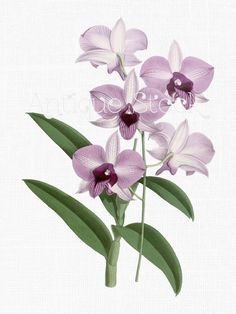 Orchid Flowers Clip Art 'Lilac Dendrobium' Botanical Illustration Digital Download Image for Invitations, Crafts, Collages, Wall Art... by AntiqueStock on Etsy