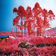 "#WOWW Richard Mosse's ""Beginning to See the Light"" is part of his renowned Infra series. Taken with a discontinued military infra-red film, Mosse's photographs use an almost other-worldly vibrancy and beauty to bring attention to an often invisible conflict in the Democratic Republic of Congo. #RichardMosse #jackshainmangallery @richard_mosse #infra"