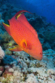 cephalopholis miniata coral grouper taveuni fiji sea told ya