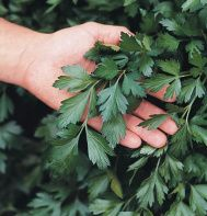 Herbs: Parsley - Giant of Italy