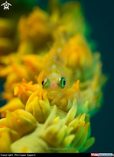 Ghost Goby in Lembeh - Indonesia