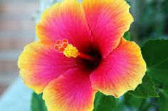 Bright tropical Hibiscus Flower in full bloom Tropical Flowers, Hawaiian Flowers, Hibiscus Flowers, Exotic Flowers, Summer Flowers, Beautiful Flowers, Cactus Flower, Lilies Flowers, Flower Art