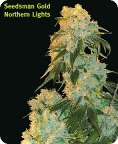 Northern Lights is a strain that has really made its mark on the world of cannabis. Its genetics are among the most sough-after for hybridization projects the world over. One would be hard pressed to find anyone who hasn't at least heard of it.  Read more: http://www.cannabis-seeds-store.co.uk/regular-seeds/seedsman/northern-lights-regular-seeds/prod_17.html