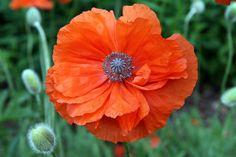 orange poppy with bluish gray center