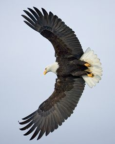 WINGS WIDE OPEN : Bald Eagle ~ Christopher Dodds Photography http://www.chrisdoddsphoto.com/