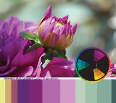 Color Inspiration - Dahlia Bud, color wheel, color palette, magenta.  If you like this color palette, please REPIN!