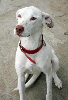 BECKHAM Perro en adopción en Sevilla http://savealife.es/perros/mestizo/9029 Difundir puede Salvar Vidas