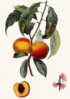 Peach, Pierre-Joseph Redoute