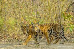 Tadoba Tiger Wildlife Safari >>Tadoba-Andhari Tiger Reserve is the pristine and unique eco-system situated in the Chandrapur district of the Maharashtra State of India. #Wildlife #Chandrapur #Maharashtra #TadobaTiger