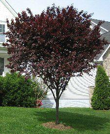 Thundercloud Flowering PlumBotanical Name: Prunus cerasifera 'Thundercloud' Category: Ornamental Trees Height: 20-25' + Spread: 20-25' + Exposure: Sun