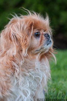 Pekinese ❤️ My Lady. Cute Puppies, Cute Dogs, Dogs And Puppies, Doggies, Animals And Pets, Cute Animals, Pekingese Puppies, Fu Dog, Cool Pets