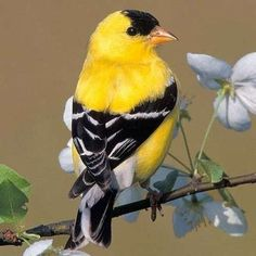 AMERICAN GOLDFINCHES wait to nest until June or July when milkweed and thistle have produced their seeds, which they feed their young.