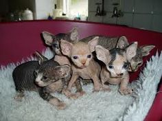 sphynx kittens - Google Search