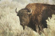 Animal Totem Photos: Buffalo, Bison