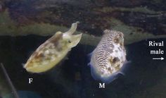 Cuttlefish woos female and dupes male with split-personality skin – Phenomena