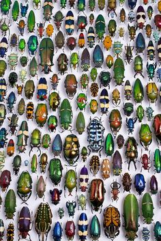 beetle collection in the Karlsruhe Museum of Natural History, Germany