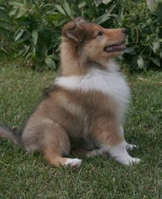 collie puppies | Neko the Rough Collie puppy at 10 weeks old.