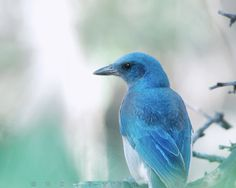 Bird Photo Print Mexican Jay Bird Photography by MurrayBolesta