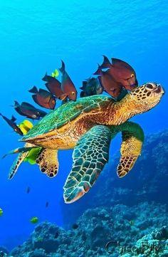 Sea Turtle Painting, Sea Turtle Art, Turtle Love, Beautiful Sea Creatures, Animals Beautiful, Cute Animals, Baby Sea Turtles, Cute Turtles, Sea Turtle Pictures
