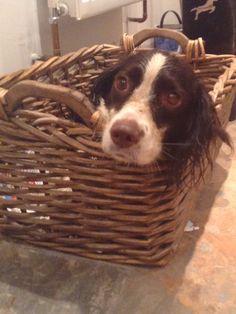Rosie English Springer Spaniel got in a basket after her walk!!!