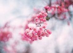 Pink snowberries