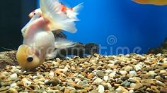 Video about A golden fish looking for food on the bottom of the water. Video of underwater, bottom, golden - 102409888 Golden Fish, Underwater, Pets, Animals, Food, Animals And Pets, Animales, Meal, Animaux