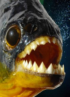 piranha I´m going to get some of those . and have my gemstones in the aquarium ; Underwater Creatures, Underwater Life, River Monsters, Ocean Monsters, Water Animals, Scary Animals, Wale, Sea And Ocean, Sea World