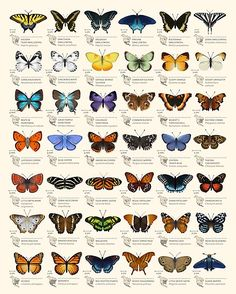 This chart is a set of decorative species illustrations of 42 North American butterflies. • Millions of unique designs by independent artists. Find your thing. Butterfly Species, Butterfly Art, Small Butterfly Tattoo, Butterfly Symbolism, Butterfly Quotes, Butterfly Painting, Types Of Butterflies, Beautiful Butterflies, Drawings Of Butterflies