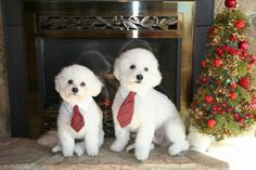 Cute little buddies Rascal and Bandit in their Christmas finery