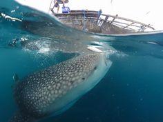 6D5N Derawan Maratua WhaleShark Talisayan
