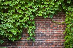 English Ivy  good for shade and to cover fence. Will need to be attached and grow in. These a re usually available with strands that are around 3 to 5 feet long. They are evergreen. Can have aphids on new growth but easy to prune away.