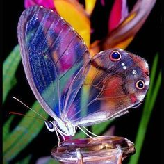 A rare and beautiful creature...A transparent Glasswing Butterfly.. Truly Amazing ~ jd