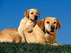 Learn the best way to Train Labrador Retriever Dogs. Labrador Puppies For Sale, Cute Puppies, Cute Dogs, Dogs And Puppies, Baby Labrador, Doggies, Golden Labrador, Labrador Retrievers, Retriever Puppies