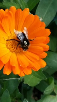 collecting pollen Garden Club, Insects, Animals, Collection, Animais, Animales, Animaux, Animal, Dieren