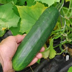 Cucumber Marketmore Great for Making Pickles theseedhouse 50 Seeds Making Pickles, How To Make Pickles, Cucumber Seeds, Growing Vegetables, Food, Essen, Backyard Farming, Meals, Planting Vegetables