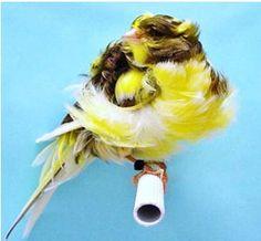 Parisian Frill Canary.  {Bed head feathers - love them!}