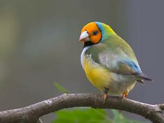 Orange headed Lady Gouldian Finch