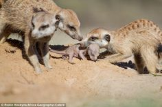 These Photos Of A Meerkat Family Protecting Their Pups Are Awwww Inspiring! Hoskyns explained how he knew something unusual was happening when they began emerging from the burrow much faster than their typical leisurely pace.